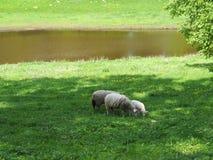Tres ovejas en un campo, comen la hierba por un lago imagenes de archivo