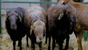Tres ovejas que comen el heno almacen de metraje de vídeo