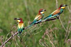 Tres pájaros del bee-eater Foto de archivo libre de regalías