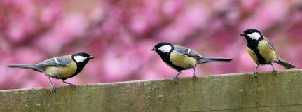 Tres pájaros del jardín en la cerca Fotos de archivo libres de regalías