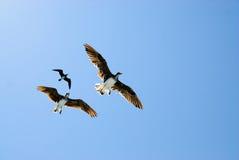 Tres pájaros en cielo azul Imagenes de archivo