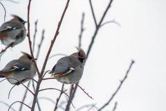 Tres pájaros en ramas de árbol Fotos de archivo libres de regalías