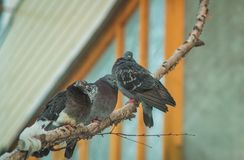 Tres pájaros en una rama Fotos de archivo libres de regalías