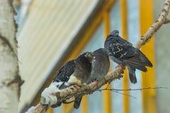 Tres pájaros en una rama Fotografía de archivo libre de regalías