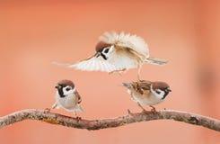 Tres pájaros enojados que discuten en una rama en día soleado Foto de archivo libre de regalías