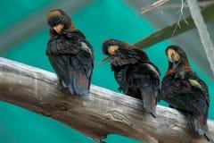 Tres pájaros negros en una rama Imagen de archivo libre de regalías