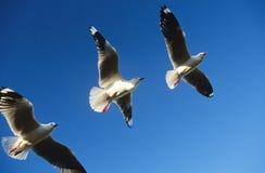 Tres pájaros que vuelan en fila Fotos de archivo libres de regalías