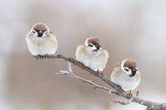 tres pájaros regordetes que se sientan en una rama en el parque Foto de archivo libre de regalías