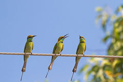 Tres pájaros verdes del comedor de abeja que se encaraman en el cable de acero contra azul Imagen de archivo libre de regalías
