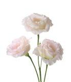 Tres pálidos - flores rosadas Foto de archivo libre de regalías