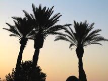 Tres palma tres en el fondo de la puesta del sol Fotografía de archivo libre de regalías