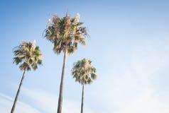 Tres palmas Imagen de archivo libre de regalías