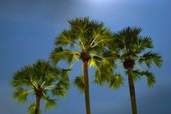 Tres palmeras Imagen de archivo libre de regalías