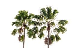 Tres palmeras del coco aisladas Imágenes de archivo libres de regalías