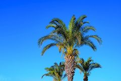 Tres palmeras mullidas Imagen de archivo libre de regalías