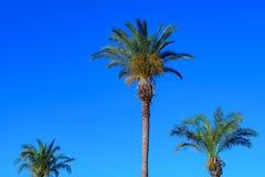 Tres palmeras mullidas Foto de archivo libre de regalías
