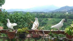 Tres palomas blancas en un balcón Fotografía de archivo libre de regalías
