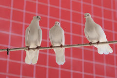Tres palomas hermosas blancas fotos de archivo libres de regalías