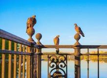 Tres palomas se sientan en un enrejado figurado arrabio de un cercado contra la perspectiva del cielo azul fotos de archivo