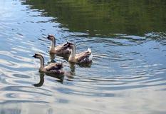Tres patos Fotos de archivo