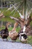 Tres patos Fotografía de archivo libre de regalías