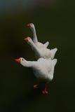 Tres patos blancos en una posición interesante Foto de archivo