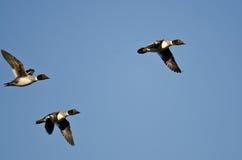 Tres patos comunes del Goldeneye que vuelan en un cielo azul foto de archivo