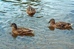 Tres patos en el agua Foto de archivo