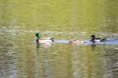 Tres patos en una fila Imagenes de archivo