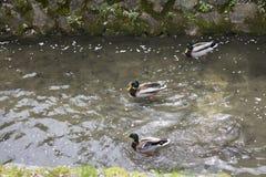 Tres patos están nadando en el río Imágenes de archivo libres de regalías