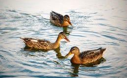Tres patos felices Foto de archivo