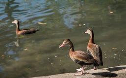 Tres patos listos para una nadada Imagen de archivo libre de regalías