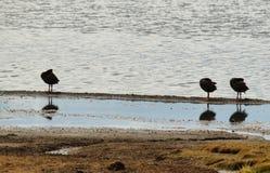Tres patos negros que se atusan en el lago Chungara Imágenes de archivo libres de regalías