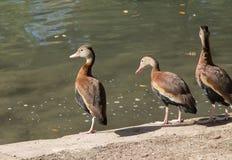Tres patos que colocan el agua cercana Foto de archivo libre de regalías