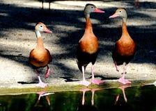 Tres patos que silban Fotos de archivo libres de regalías