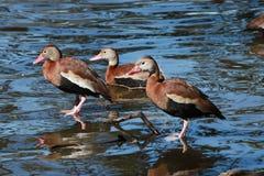 Tres patos que silban Negro-hinchados Imagen de archivo libre de regalías