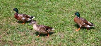 Tres patos salvajes en una caminata Imagenes de archivo