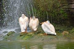 Tres pelícanos bajo la cascada Fotos de archivo