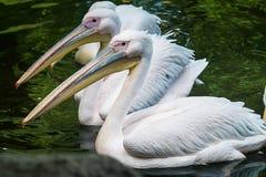 Tres pelícanos blancos Fotografía de archivo libre de regalías