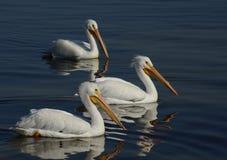 Tres pelícanos blancos foto de archivo libre de regalías