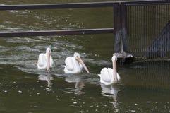 Tres pelícanos blancos que nadan Foto de archivo