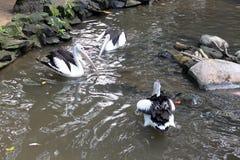 Tres pelícanos en el agua Imagen de archivo libre de regalías