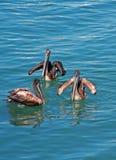 Tres pelícanos que nadan en Cabo San Lucas se abrigan en Baja México Fotos de archivo