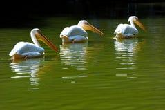 Tres pelícanos que nadan en el lago Foto de archivo libre de regalías