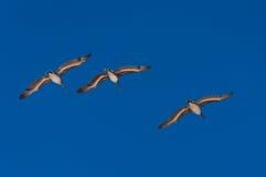 Tres pelícanos que vuelan en la formación Foto de archivo libre de regalías