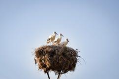 Tres pequeñas cigüeñas en una jerarquía Fotografía de archivo libre de regalías