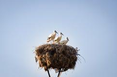 Tres pequeñas cigüeñas en una jerarquía Foto de archivo