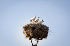 Tres pequeñas cigüeñas en una jerarquía Fotos de archivo