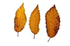Tres pequeñas hojas caidas de árbol en otoño Fotografía de archivo