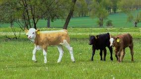 Tres pequeño becerro, paseo de la vaca en el prado de la primavera, República Checa almacen de video
